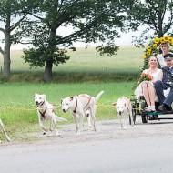 Nystedts Huskey sommarbil med brudpar på vagn efter hundar som drar