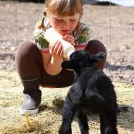 Flicka ger mjölk i nappflaska till ett svart lamm