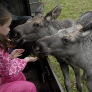 Två älgkalvar äter ur handen på ett barn